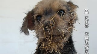 Prickly situation for 8-week-old AZ pup