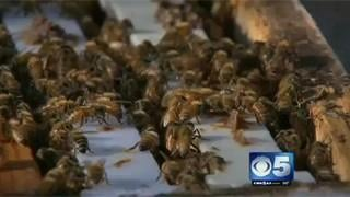 Bees help take sting out of aging