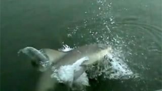 7' bull shark surprises angler