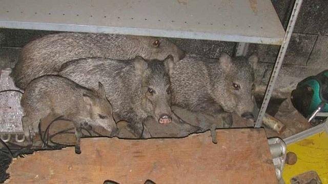 Javelina nest in Valley root cellar
