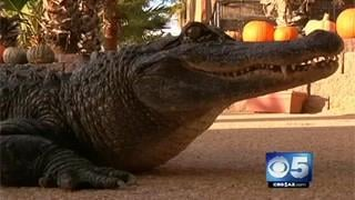 VIDEO: Phoenix alligator getting prosthetic tail