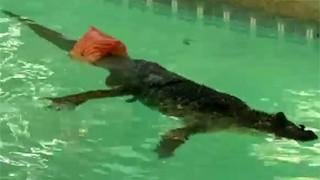 RAW VIDEO: Alligator swims with prosthetic tail