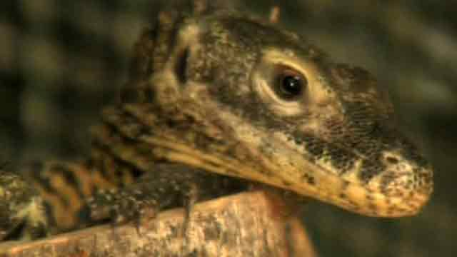 SLIDESHOW: Baby komodo dragons