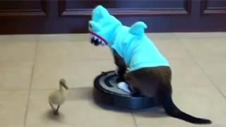 VIDEO: Roomba cat chases duck