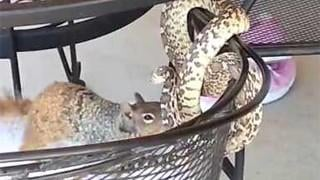 Snake vs. squirrel in patio brawl