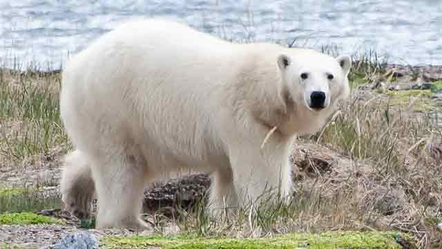 PHOTOS: AZ doc saw polar bear attack