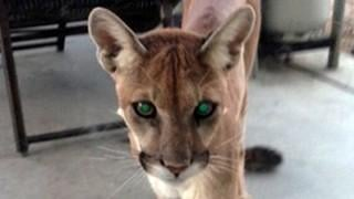 VIDEO: Mountain lion comes calling