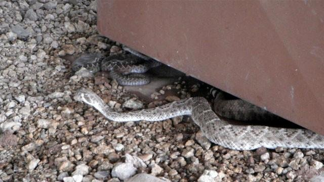 VIDEO: Rattler gives birth on line