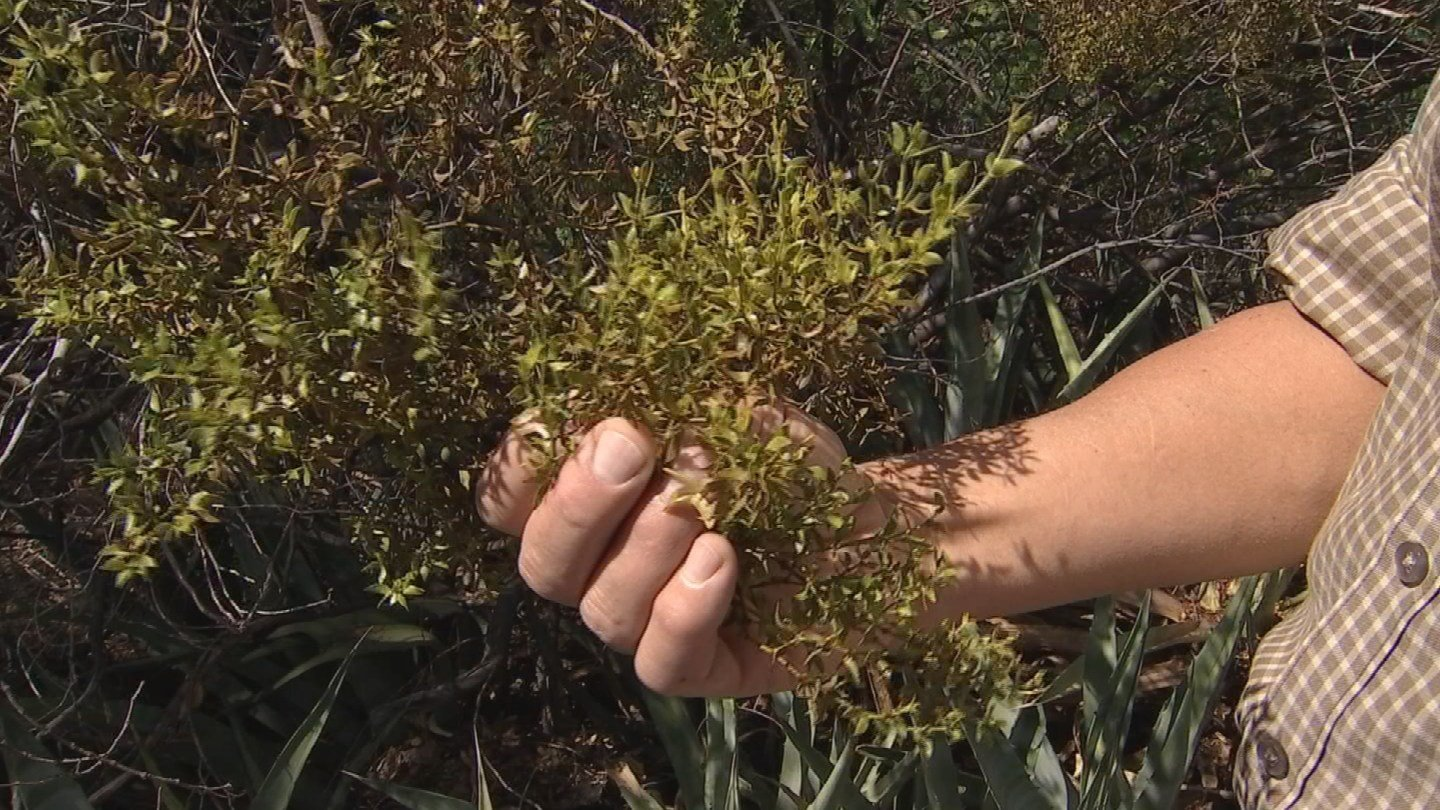 The sweet smell of the creosote leaves wafts into the air during and afterrain in partsof Arizona. (Source: CBS 5 News)