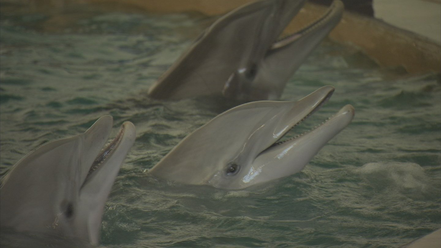 """As soon as we put them in their new pool, the animals popped up and ate fish and they've been doing very well ever since,"" said Dr. Grey Stafford, who is the facility's general manager. (Source: CSB 5 News)"