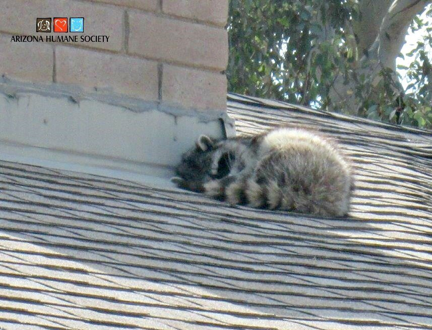 This raccoon was spotted on the roof of a home in Glendale Friday.