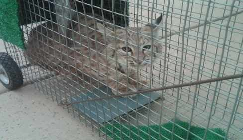 Bobcat cub