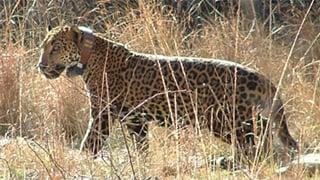 Camera Network To Focus On Jaguars In Az Nm Arizona 39 S