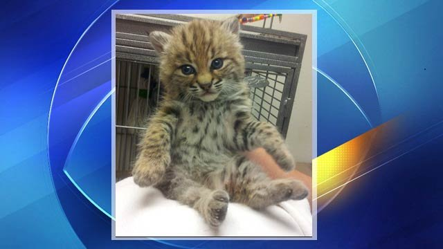 Bobcat found