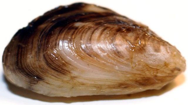 Популяция британских мидий под угрозой из-за распространения инвазивных пресноводных моллюсков