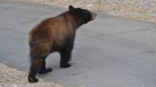 Bear spotted by Forest Lakes couple