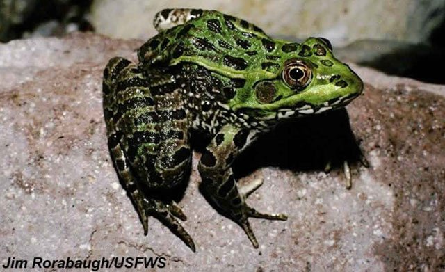 Chiricahua frogs released into az mountains arizona 39 s family for Arizona game and fish locations