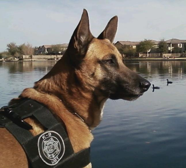 Jeg, a 7-year-old Belgian Malinois