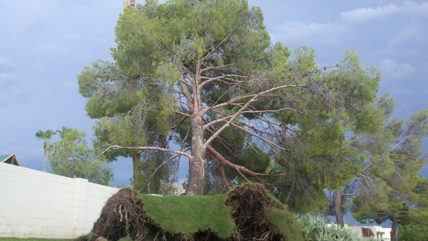 Tree blown over by winds in Fountain Hills Sunday