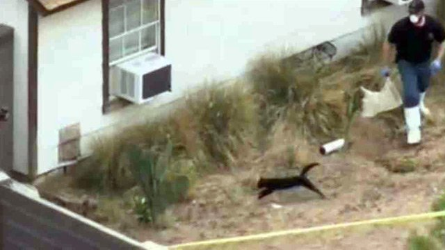 A deputy chases one of the cats at this Mesa home.