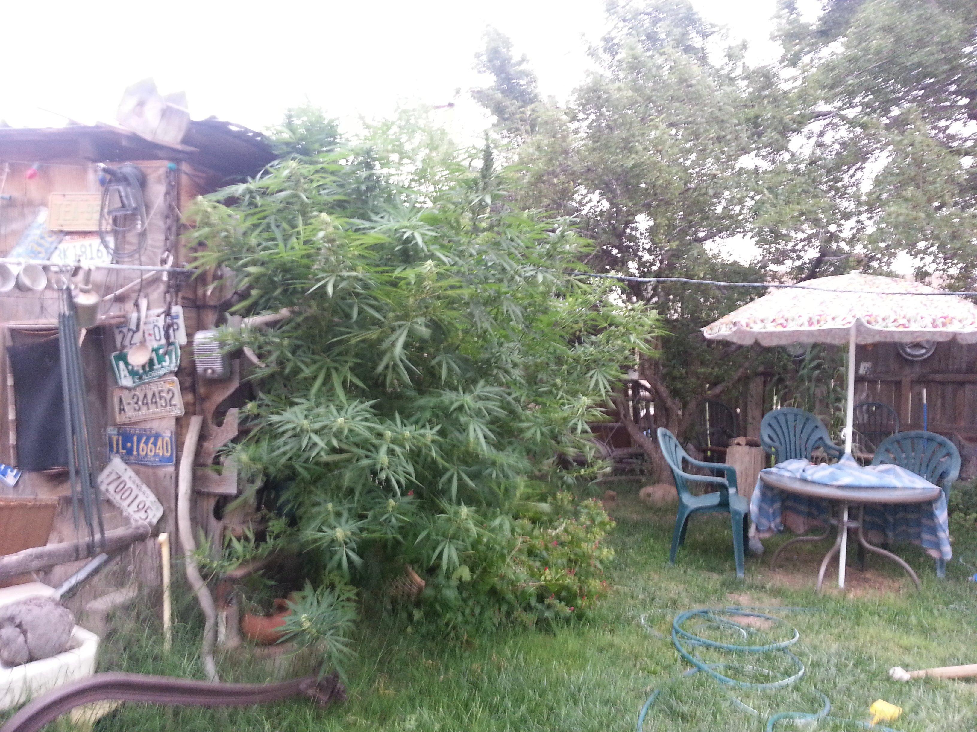 Authorities dismantle 2 marijuana growing operations in Holbrook  CBS