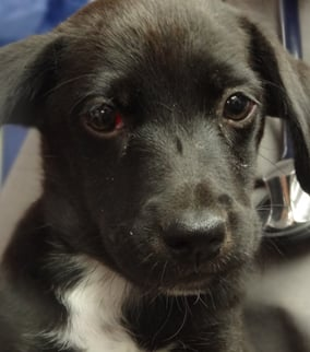Mio, a 10-week-old Labrador retriever mix