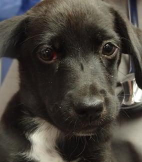 Mio, a 10-week-old Labrador retriever mix