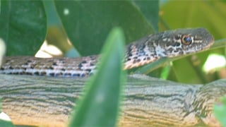 Coachwhip snake/Courtesy of AZ Game & Fish