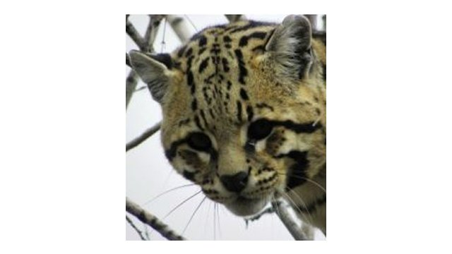 Ocelots have been listed as endangered since 1982 under the federal Endangered Species Act.