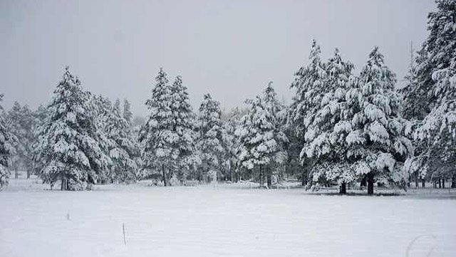 (Viewer submitted photo by Luis Diaz) Snow blankets these trees inFlagstaff.