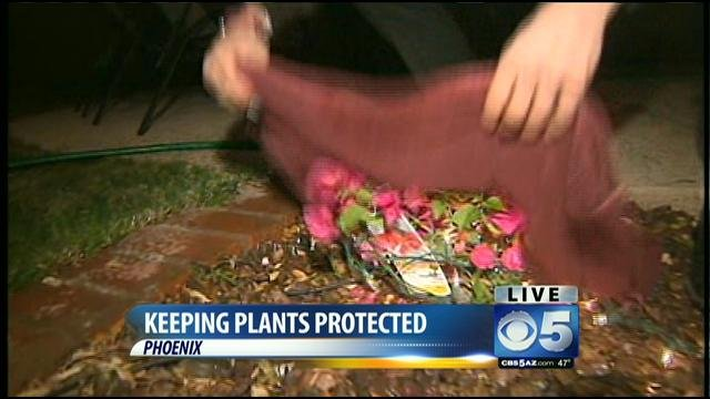 Phoenix residents scrambled to cover their vulnerable plants.