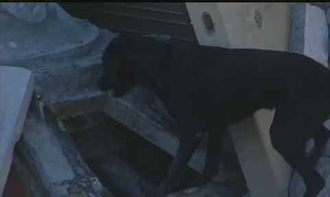  Dog searches for live victim in Search and Rescue test held by AZ-TF1 in Phoenix mock rehearsal.