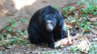 Rio, the Andean bear that gave birth (Source: Phoenix Zoo)