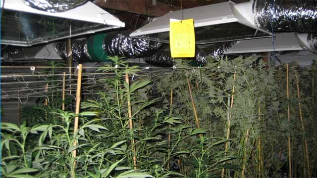 More than 120 plants were located and seized. (Source: Tempe Police Department)
