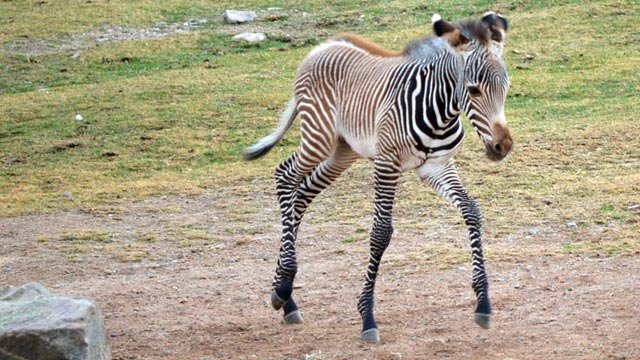 (Source: Phoenix Zoo) The male foal is the 19th zebra born since 1987 at the zoo, and helps bolster the sparse population of Grevy's zebras, an endangered species.