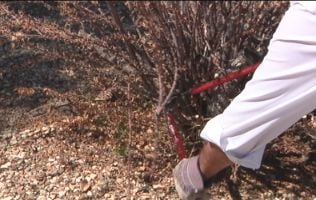 Removing dead branches on a torch glow bougainvillea