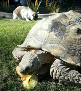 """Jeeps,"" a 16-year-old, 100-pound African Sulcata tortoise. (Source: Phoenix Police Department)"