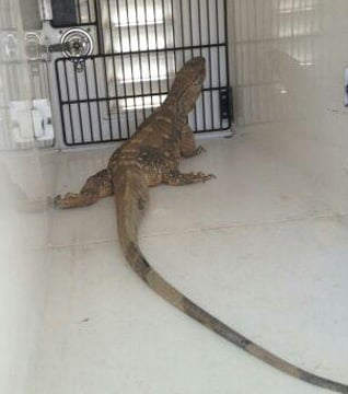 This monitor lizard was found on an El Mirage street Tuesday. (Source: Surprise Police Department)