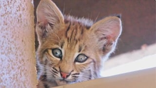 A bobcat like this one attacked a woman in Show Low Sunday night. (Source: KPHO-TV)