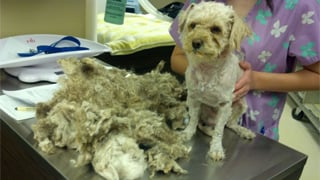 The male poodle-mix, nicknamed Ralph, gets a good shaving. (Source: Arizona Animal Welfare League)
