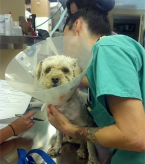 The dog was possibly attacked by a coyote. (Source: Arizona Animal Welfare League)