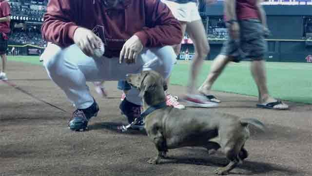 D'backs relief pitcher Heath Bell throws the ball for Pancho, a pet up for adoption. (Christina Batson, cbs5az.com)