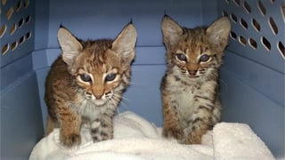 Two bobcats left at Arizona Human Society. (Source: Arizona Humane Society)