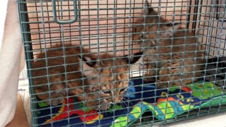 They were turned over to the Southwest Wildlife Conservation Center. (Source: Arizona Humane Society)