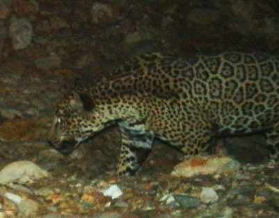 Jaguar spotted in the Santa Rita Mountains near Tucson. (Source: U.S. Fish and Wildlife Service)