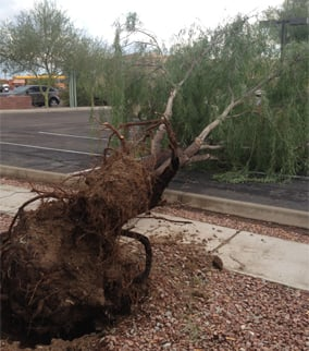 Tree uprooted at Chandler and 32nd St. in Ahwatukee. (Source: Rebecca Thomas, cbs5az.com)