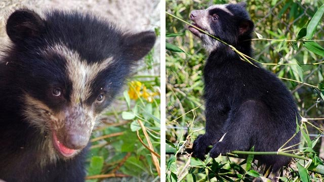 Andean bear cub, Luka. (Source: Phoenix Zoo)