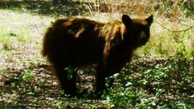 Bears were seen in the past week at the Huachuca Canyon. (Source: Fort Huachuca staff)