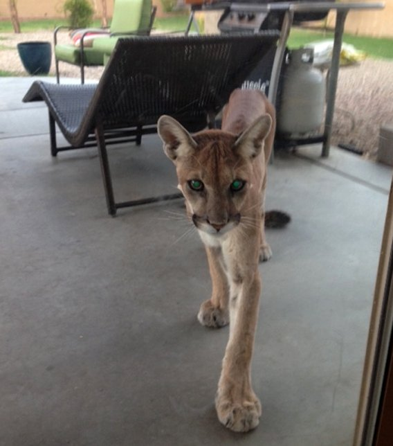 A Peoria family had an unwanted guest Tuesday night on their back patio. (Source: Rebekah Coleman)