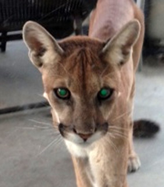 A mountain lion wandered into a resident's backyard.  (Source: Rebekah Coleman)